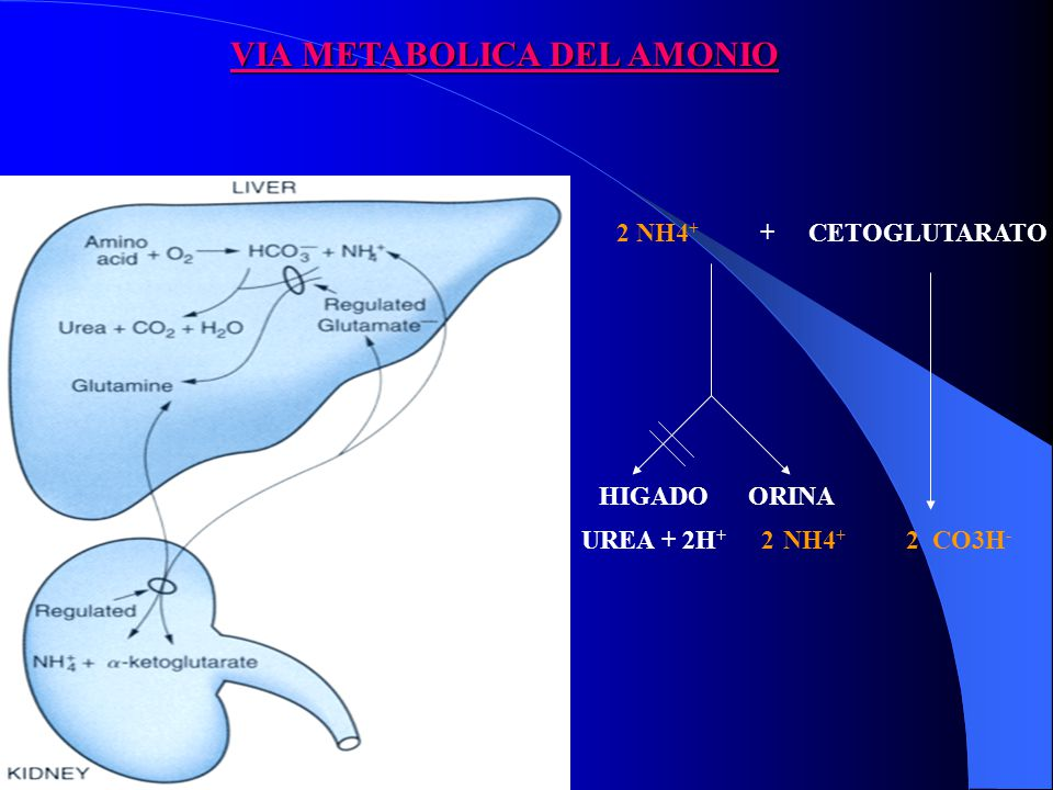 VIA METABOLICA DEL AMONIO