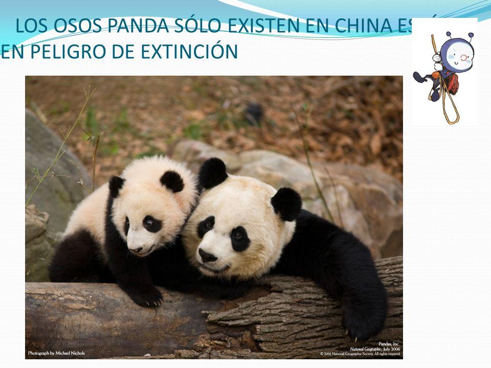 LOS OSOS PANDA SÓLO EXISTEN EN CHINA ESTÁ EN PELIGRO DE EXTINCIÓN
