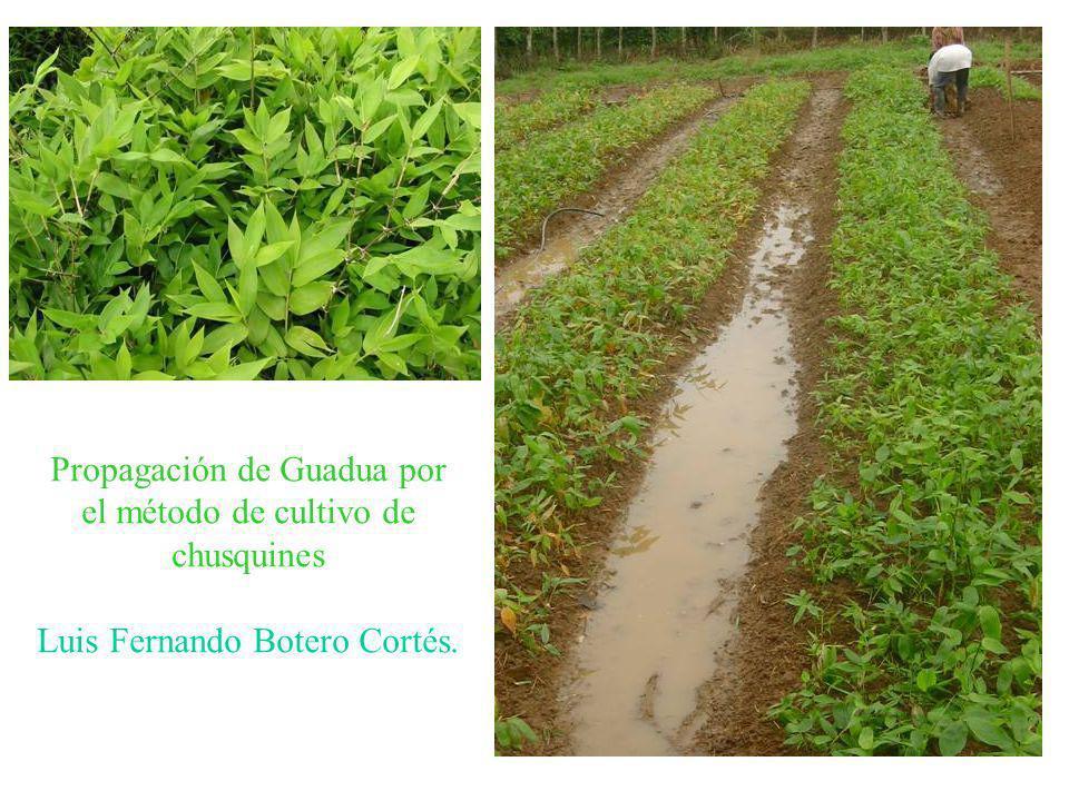 Propagación de Guadua por el método de cultivo de chusquines