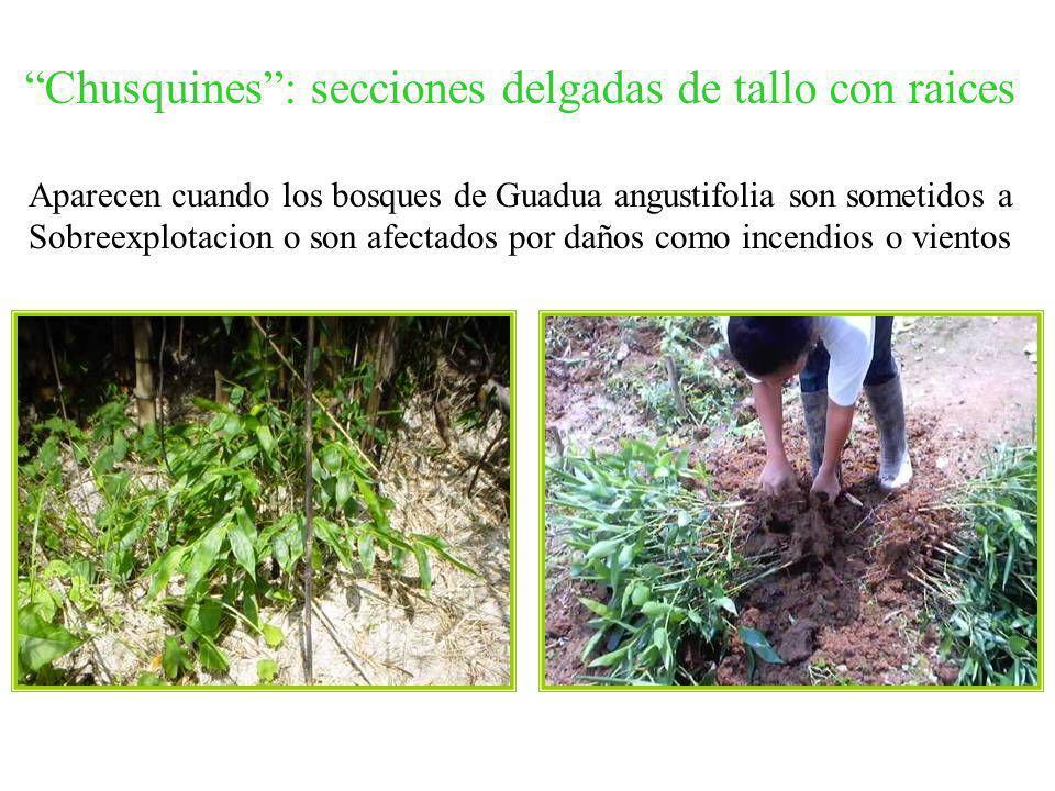 Chusquines : secciones delgadas de tallo con raices