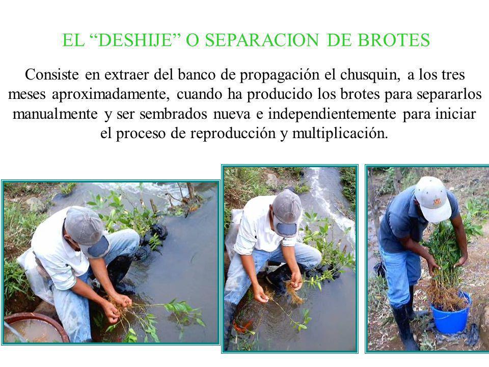 EL DESHIJE O SEPARACION DE BROTES