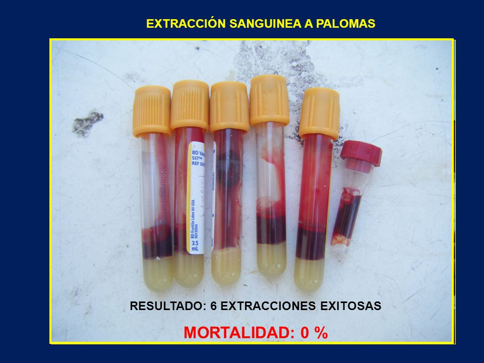 EXTRACCIÓN SANGUINEA A PALOMAS RESULTADO: 6 EXTRACCIONES EXITOSAS