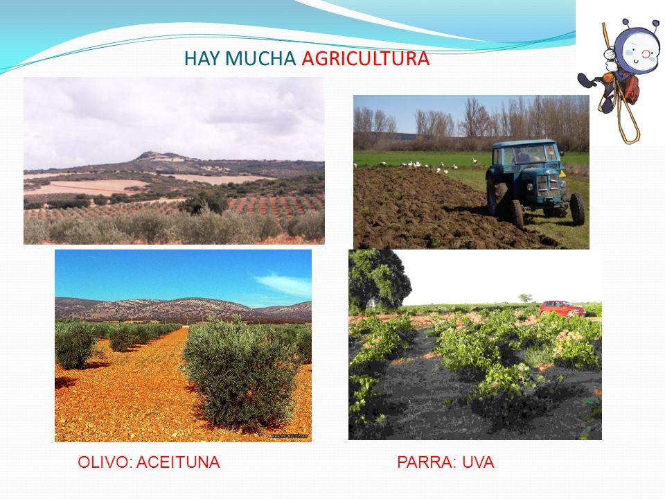 HAY MUCHA AGRICULTURA OLIVO: ACEITUNA PARRA: UVA