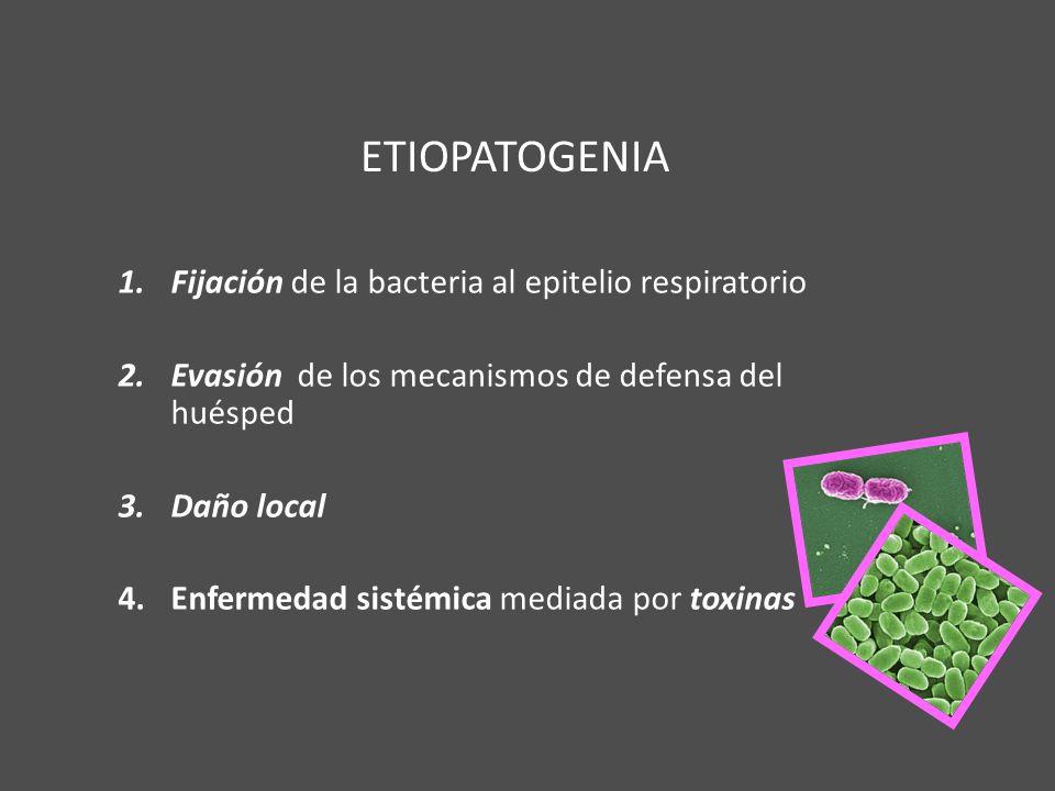 ETIOPATOGENIA Fijación de la bacteria al epitelio respiratorio