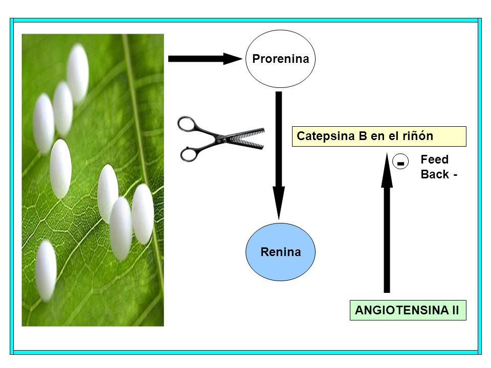 Prorenina Catepsina B en el riñón Feed Back - - Renina ANGIOTENSINA II