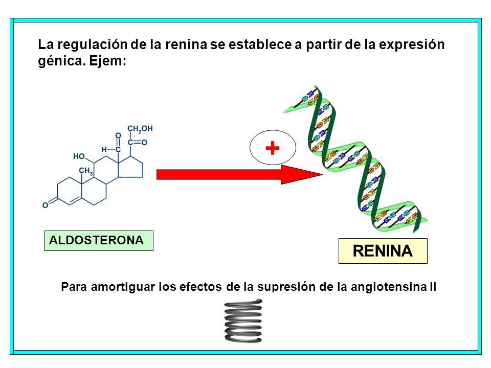 La regulación de la renina se establece a partir de la expresión génica. Ejem: