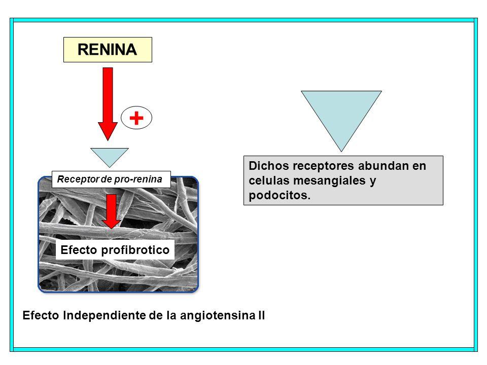 + RENINA Dichos receptores abundan en celulas mesangiales y podocitos.