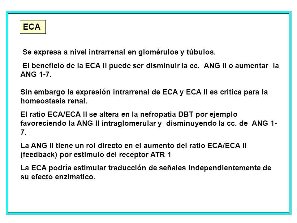 ECA Se expresa a nivel intrarrenal en glomérulos y túbulos.