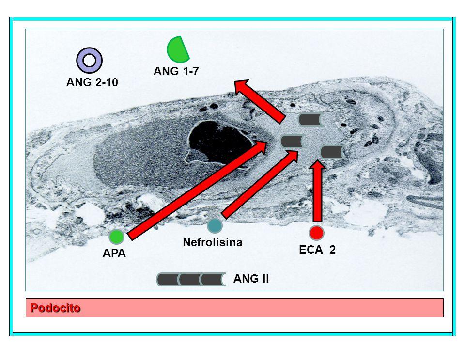 ANG 1-7 ANG 2-10 Nefrolisina ECA 2 APA ANG II Podocito