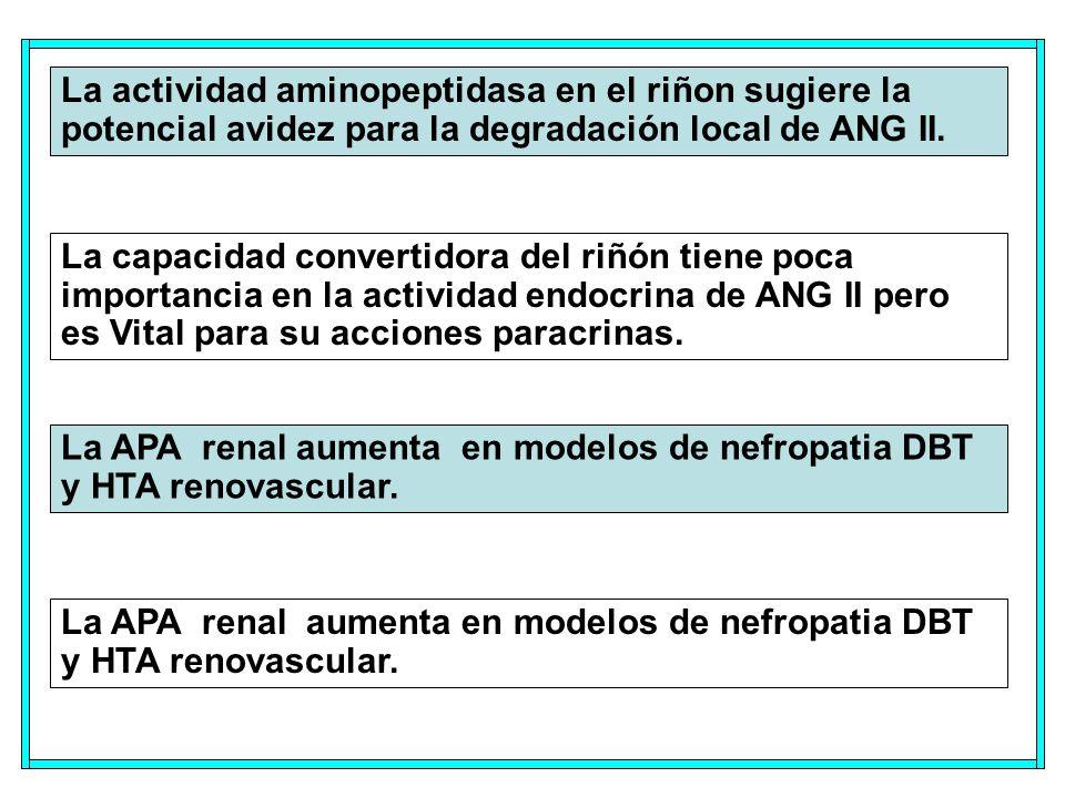 La actividad aminopeptidasa en el riñon sugiere la potencial avidez para la degradación local de ANG II.