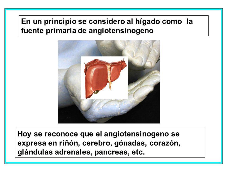 En un principio se considero al hígado como la fuente primaria de angiotensinogeno