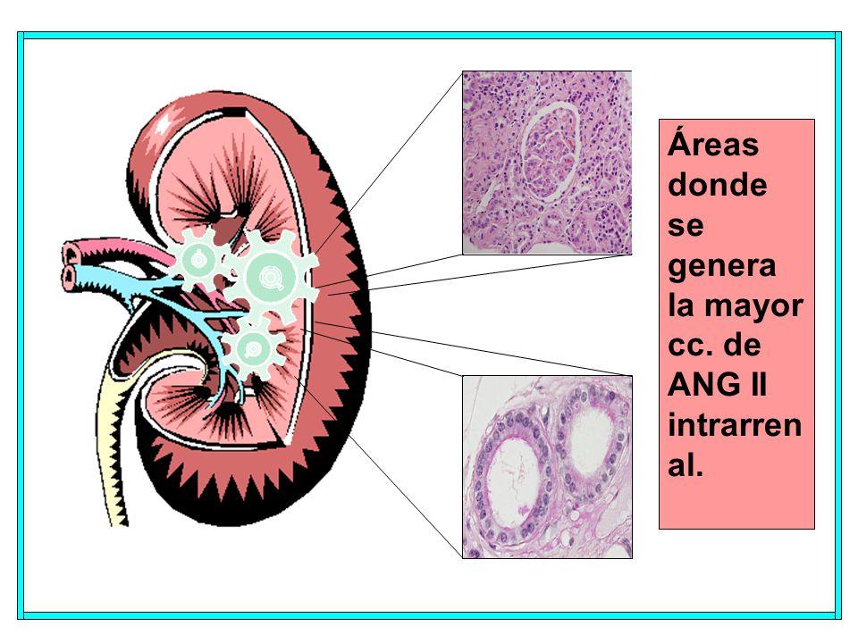 Áreas donde se genera la mayor cc. de ANG II intrarrenal.
