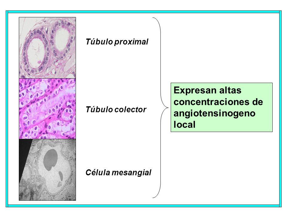 Expresan altas concentraciones de angiotensinogeno local