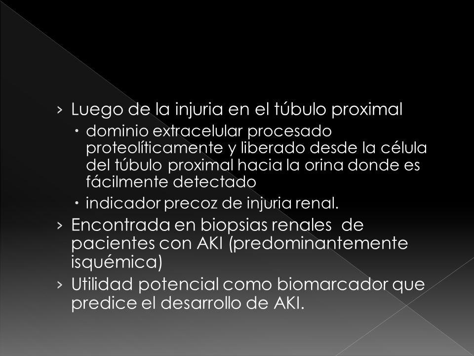 Luego de la injuria en el túbulo proximal