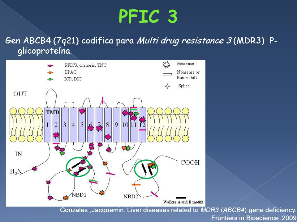 PFIC 3 Gen ABCB4 (7q21) codifica para Multi drug resistance 3 (MDR3) P- glicoproteína.