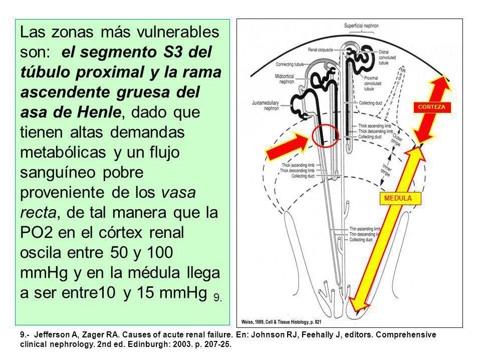 Las zonas más vulnerables son: el segmento S3 del túbulo proximal y la rama ascendente gruesa del asa de Henle, dado que tienen altas demandas metabólicas y un flujo sanguíneo pobre proveniente de los vasa recta, de tal manera que la PO2 en el córtex renal oscila entre 50 y 100 mmHg y en la médula llega a ser entre10 y 15 mmHg 9.