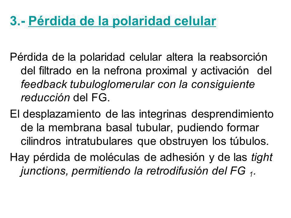 3.- Pérdida de la polaridad celular