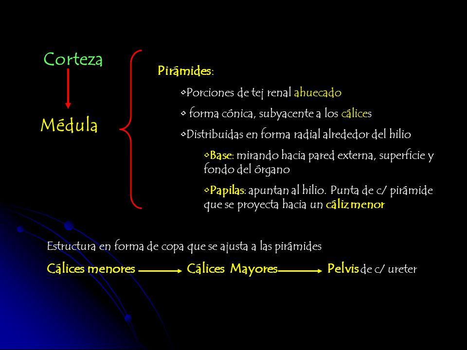 Corteza Médula Pirámides: