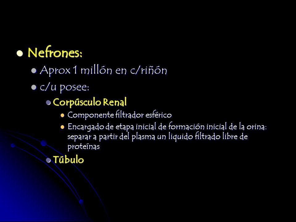 Nefrones: Aprox 1 millón en c/riñón c/u posee: Corpúsculo Renal Túbulo