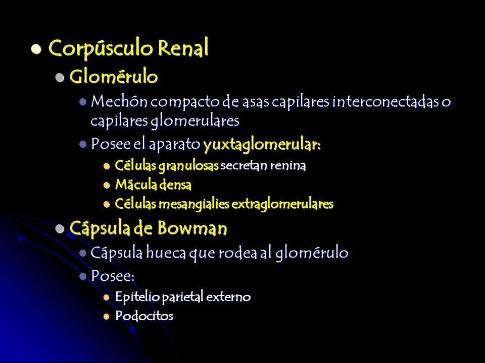 Corpúsculo Renal Glomérulo Cápsula de Bowman
