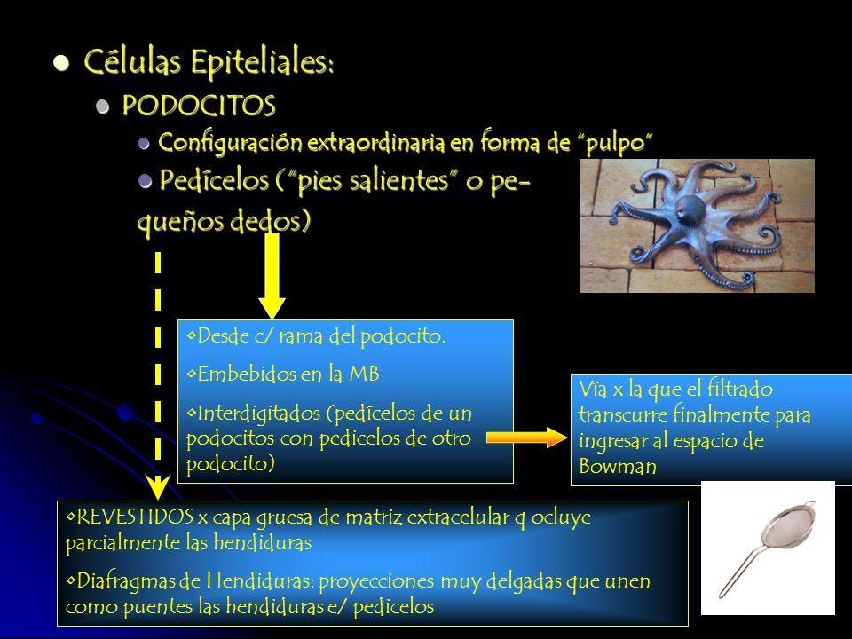 Células Epiteliales: PODOCITOS Pedícelos ( pies salientes o pe-