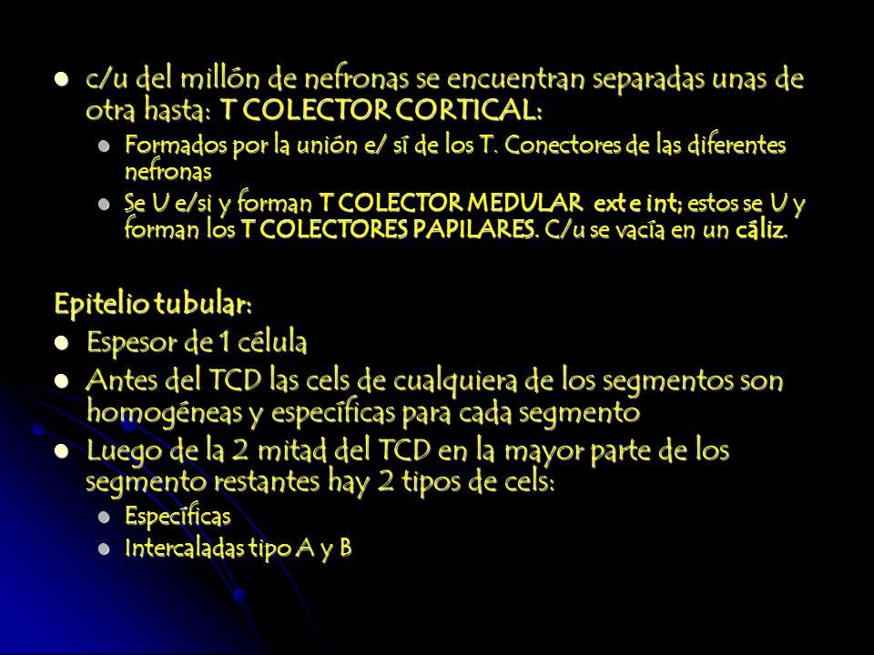 c/u del millón de nefronas se encuentran separadas unas de otra hasta: T COLECTOR CORTICAL: