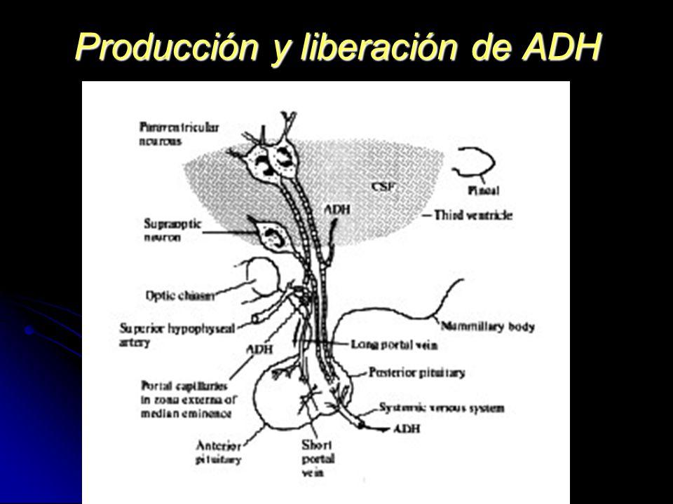 Producción y liberación de ADH
