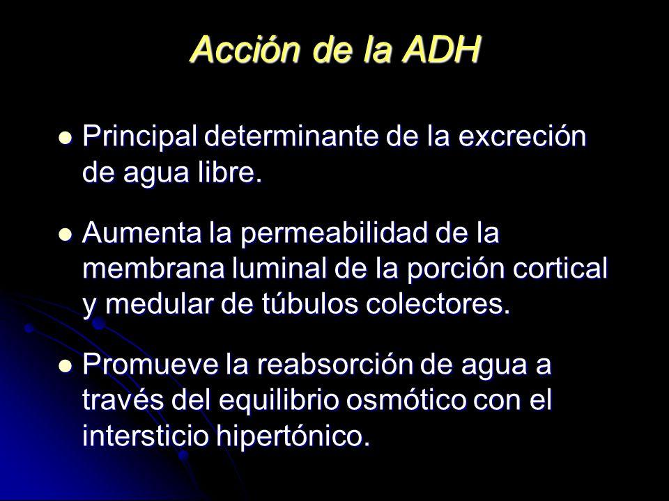 Acción de la ADH Principal determinante de la excreción de agua libre.