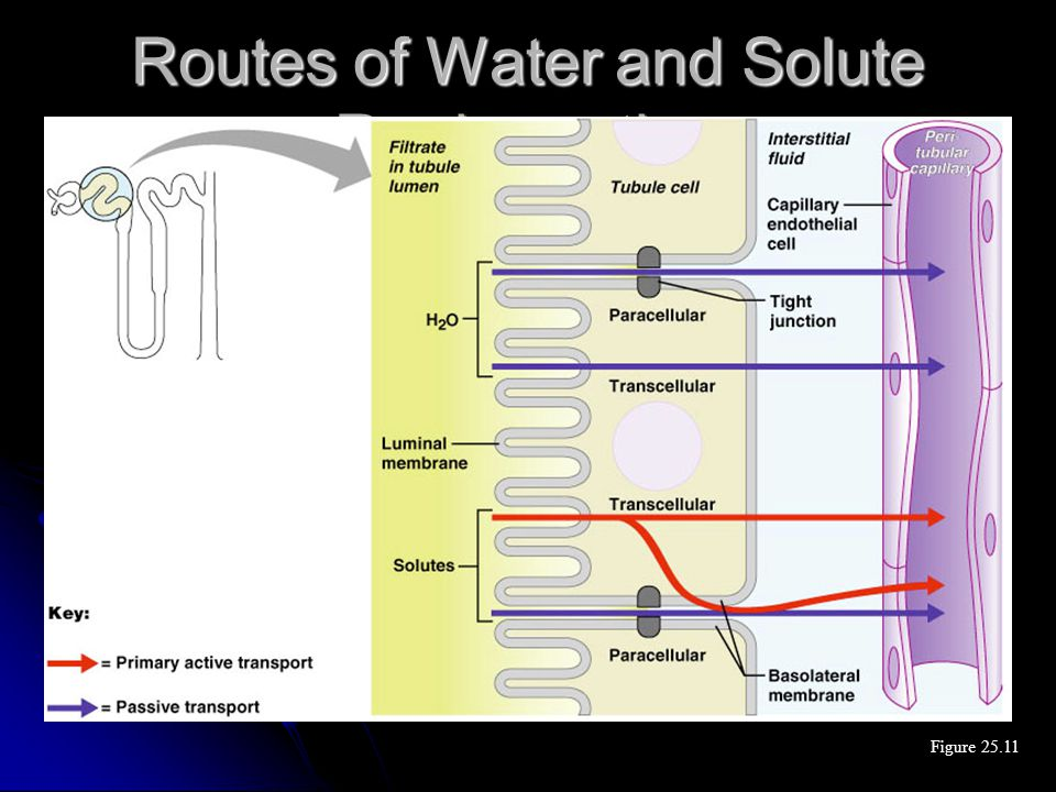 Routes of Water and Solute Reabsorption