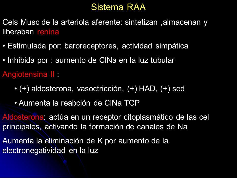 Sistema RAA Cels Musc de la arteriola aferente: sintetizan ,almacenan y liberaban renina. Estimulada por: baroreceptores, actividad simpática.
