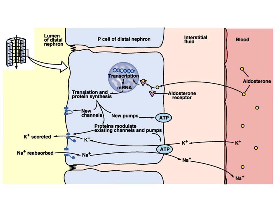 Principal cells & aldosterone