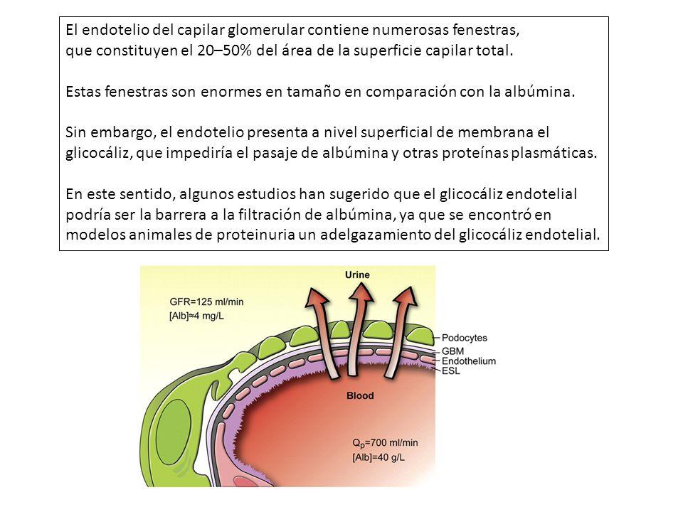 El endotelio del capilar glomerular contiene numerosas fenestras,