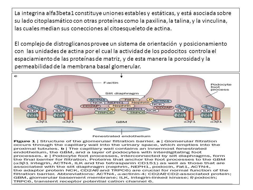La integrina alfa3beta1 constituye uniones estables y estáticas, y está asociada sobre su lado citoplasmático con otras proteínas como la paxilina, la talina, y la vinculina,