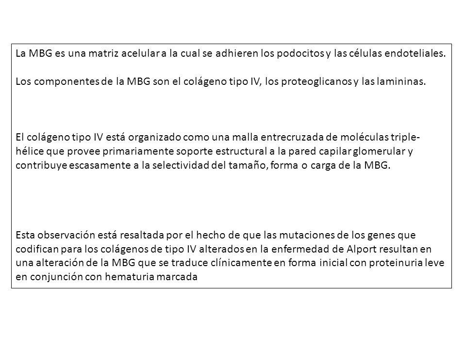 La MBG es una matriz acelular a la cual se adhieren los podocitos y las células endoteliales.