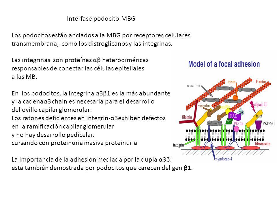 Interfase podocito-MBG