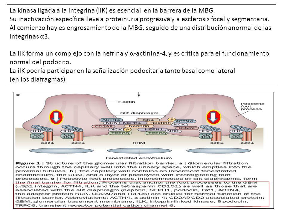La kinasa ligada a la integrina (ilK) es esencial en la barrera de la MBG.