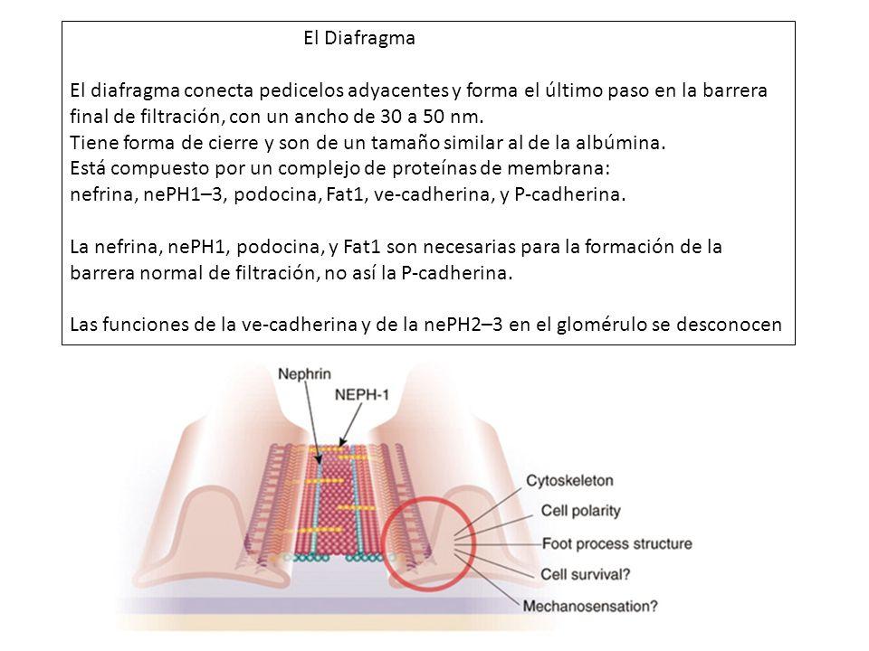 El Diafragma El diafragma conecta pedicelos adyacentes y forma el último paso en la barrera final de filtración, con un ancho de 30 a 50 nm.
