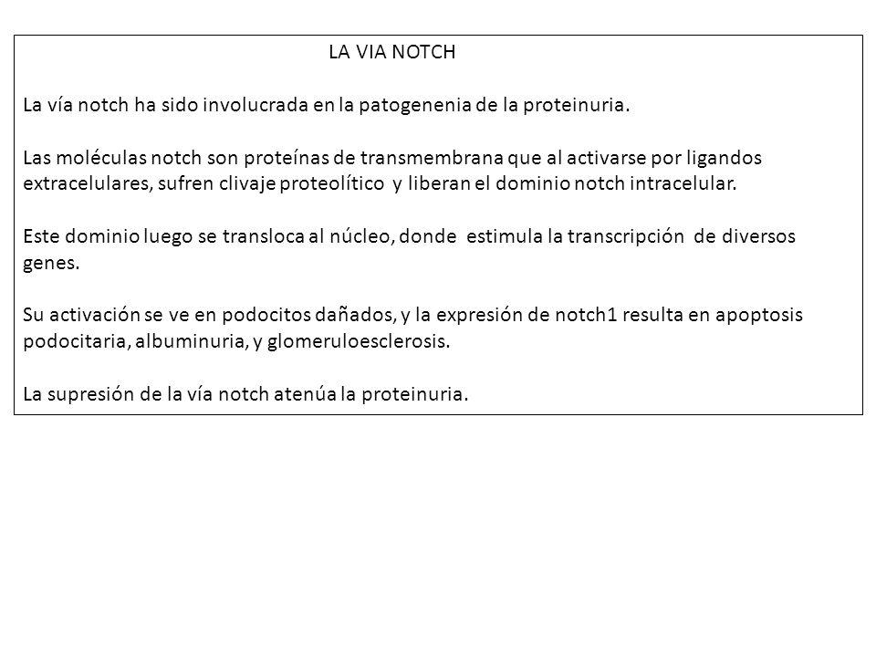 LA VIA NOTCH La vía notch ha sido involucrada en la patogenenia de la proteinuria.