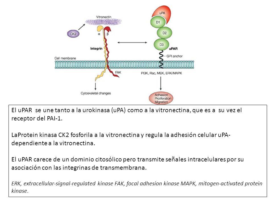 El uPAR se une tanto a la urokinasa (uPA) como a la vitronectina, que es a su vez el receptor del PAI-1.