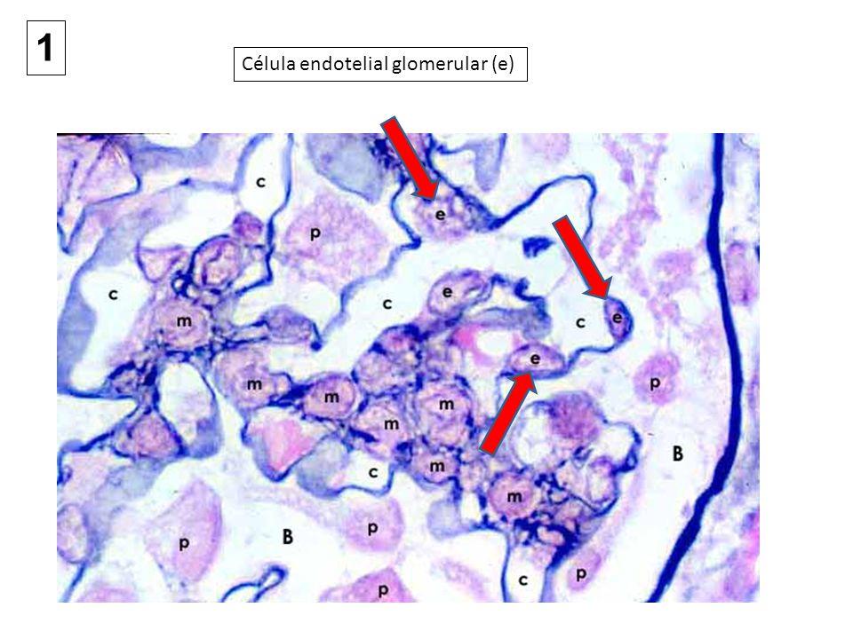 1 Célula endotelial glomerular (e)