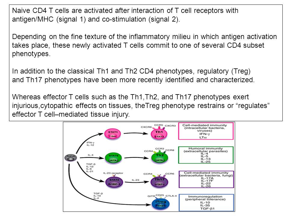Naive CD4 T cells are activated after interaction of T cell receptors with antigen/MHC (signal 1) and co-stimulation (signal 2).