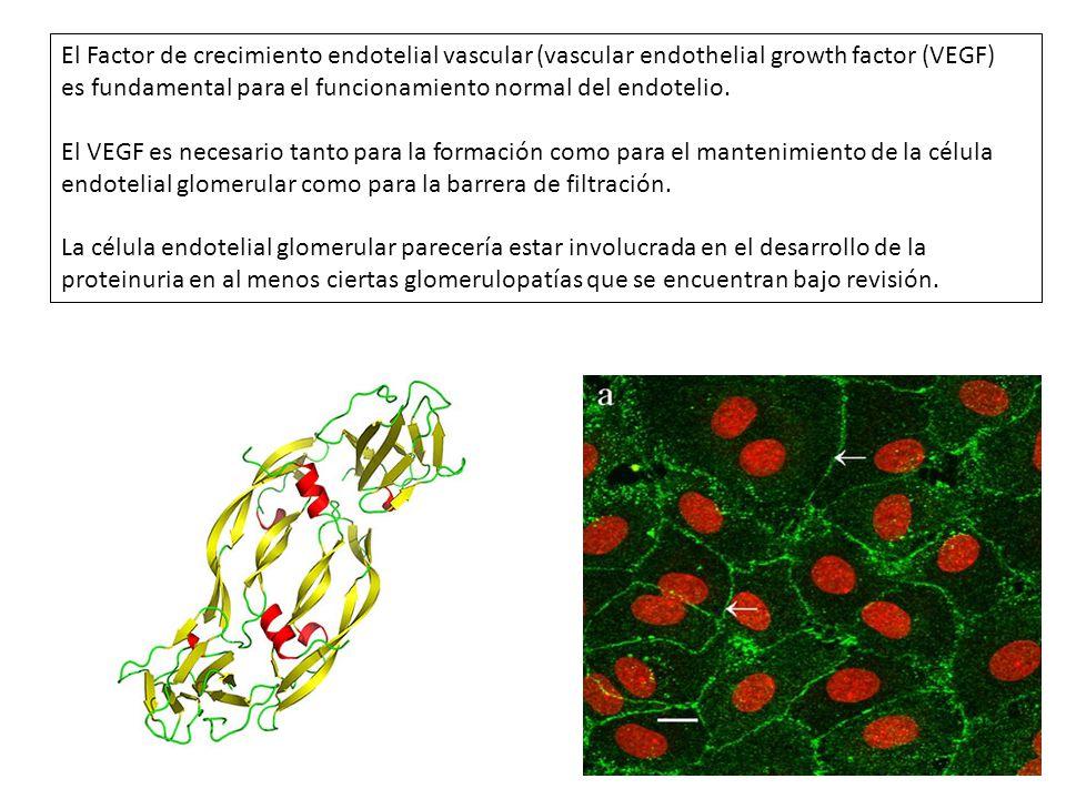 El Factor de crecimiento endotelial vascular (vascular endothelial growth factor (VEGF)