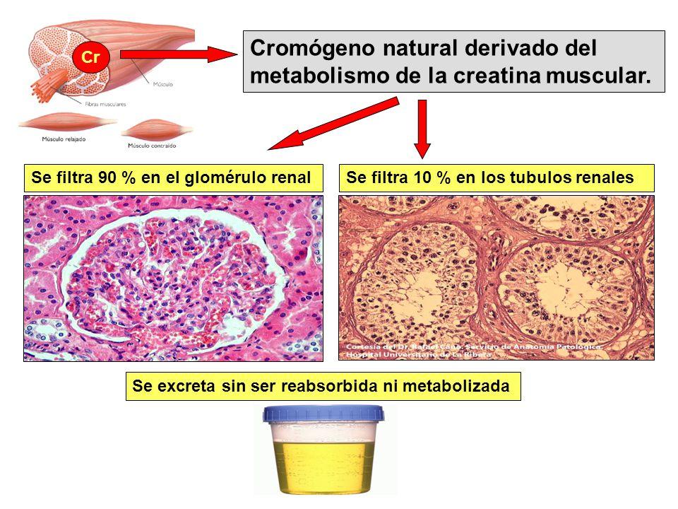 Cromógeno natural derivado del metabolismo de la creatina muscular.
