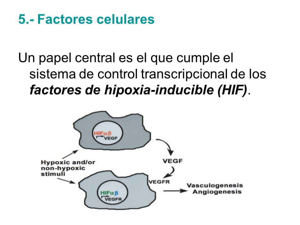 5.- Factores celulares Un papel central es el que cumple el sistema de control transcripcional de los factores de hipoxia-inducible (HIF).