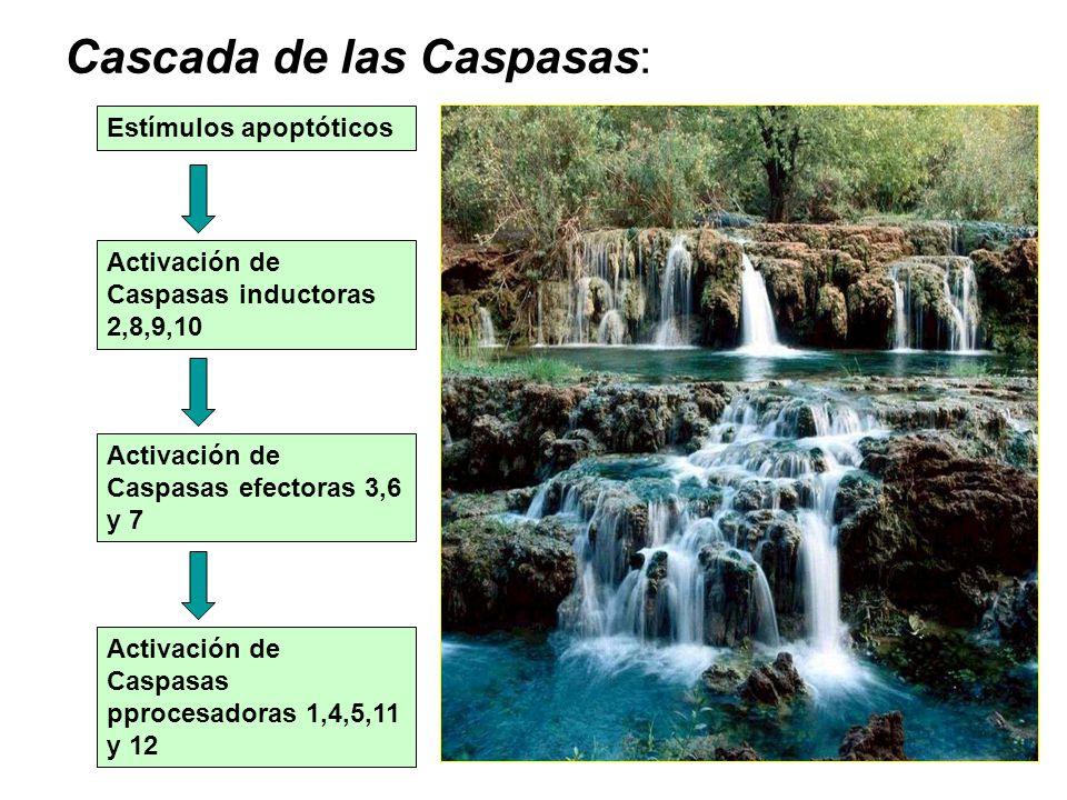 Cascada de las Caspasas: