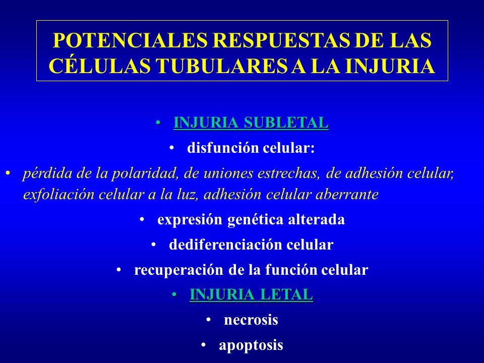 POTENCIALES RESPUESTAS DE LAS CÉLULAS TUBULARES A LA INJURIA