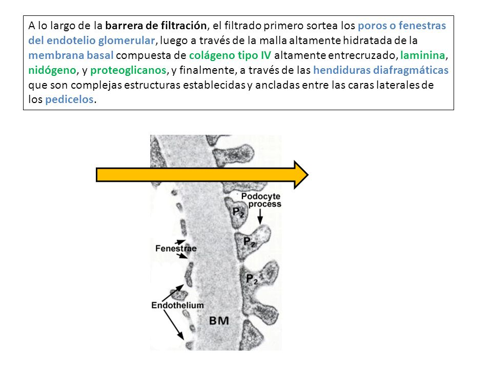 A lo largo de la barrera de filtración, el filtrado primero sortea los poros o fenestras del endotelio glomerular, luego a través de la malla altamente hidratada de la membrana basal compuesta de colágeno tipo IV altamente entrecruzado, laminina, nidógeno, y proteoglicanos, y finalmente, a través de las hendiduras diafragmáticas que son complejas estructuras establecidas y ancladas entre las caras laterales de los pedicelos.