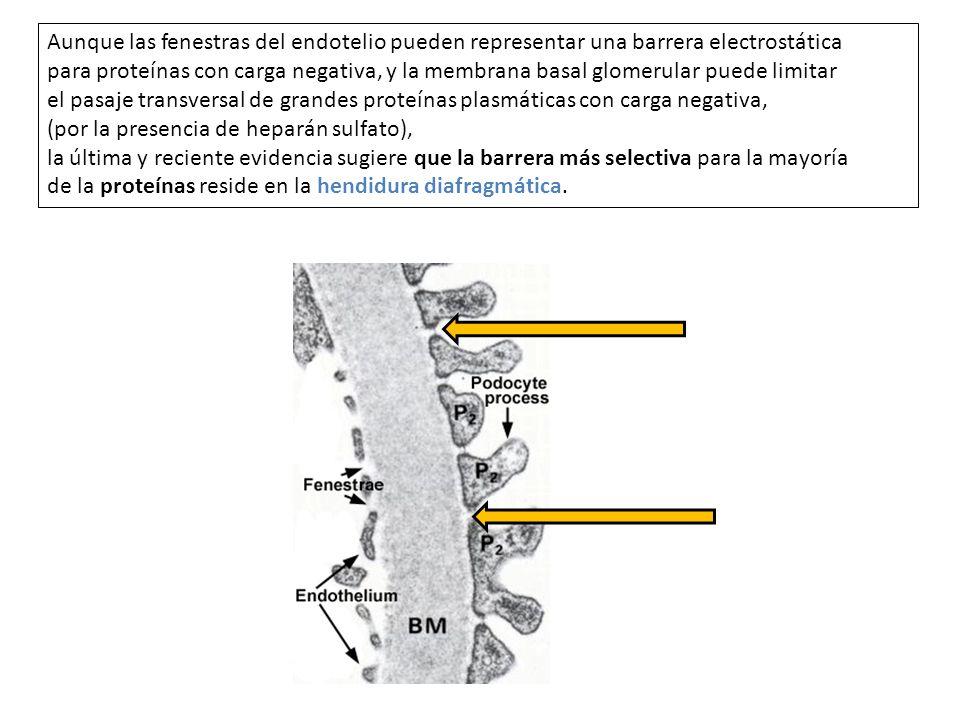 Aunque las fenestras del endotelio pueden representar una barrera electrostática