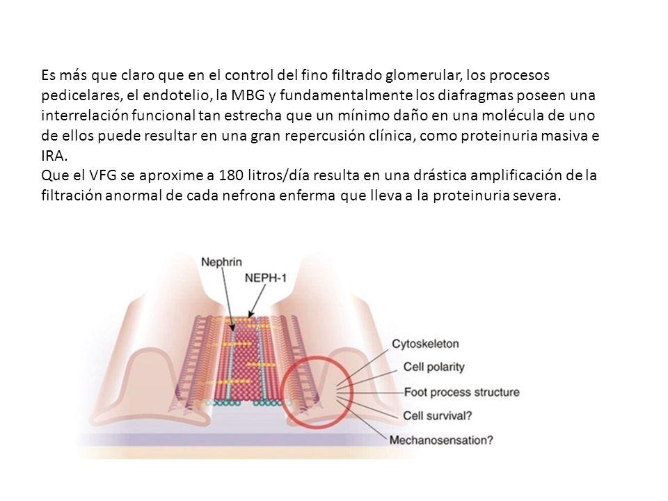 Es más que claro que en el control del fino filtrado glomerular, los procesos pedicelares, el endotelio, la MBG y fundamentalmente los diafragmas poseen una interrelación funcional tan estrecha que un mínimo daño en una molécula de uno de ellos puede resultar en una gran repercusión clínica, como proteinuria masiva e IRA.