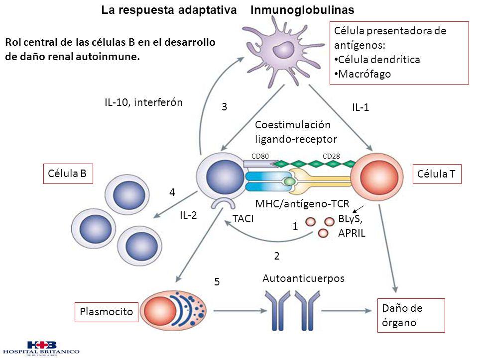 La respuesta adaptativa Inmunoglobulinas